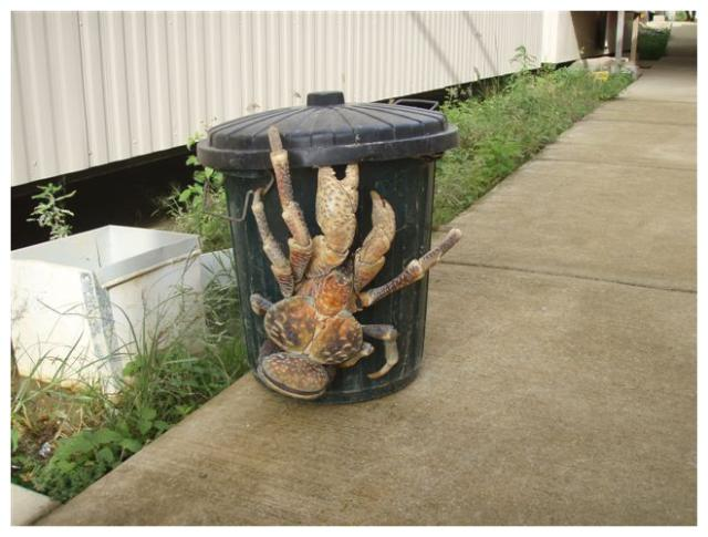 giant-coconut-crab