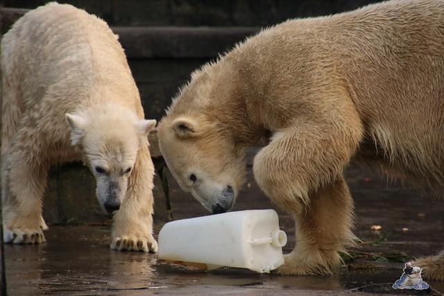 Eisbär Fiete im Zoo Rostock  0167