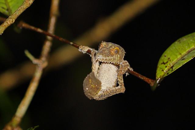 Southern Flat-tail Gecko (Uroplatus sikorae), VOIMMA reserve, Madagascar