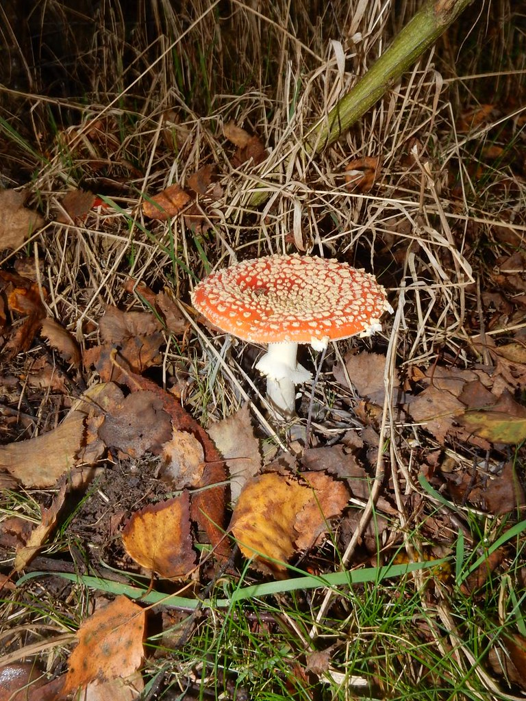 Fly Agaric Crowthorne to Blackwater