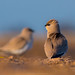Small pratincole early morning