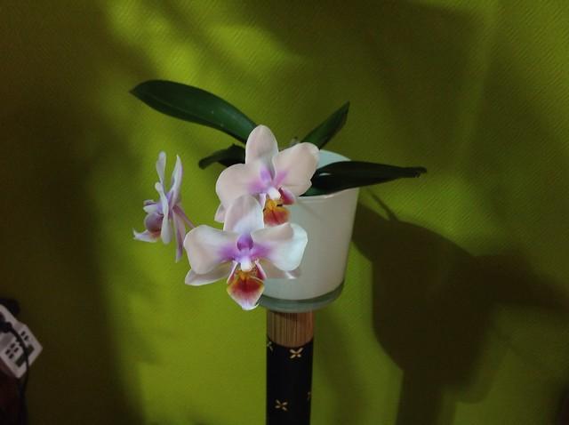 Floraison des orchidées de juin à........... 19952254534_675571e5e2_z