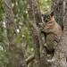 Hubbard's Sportive Lemur (Ed Drewitt)