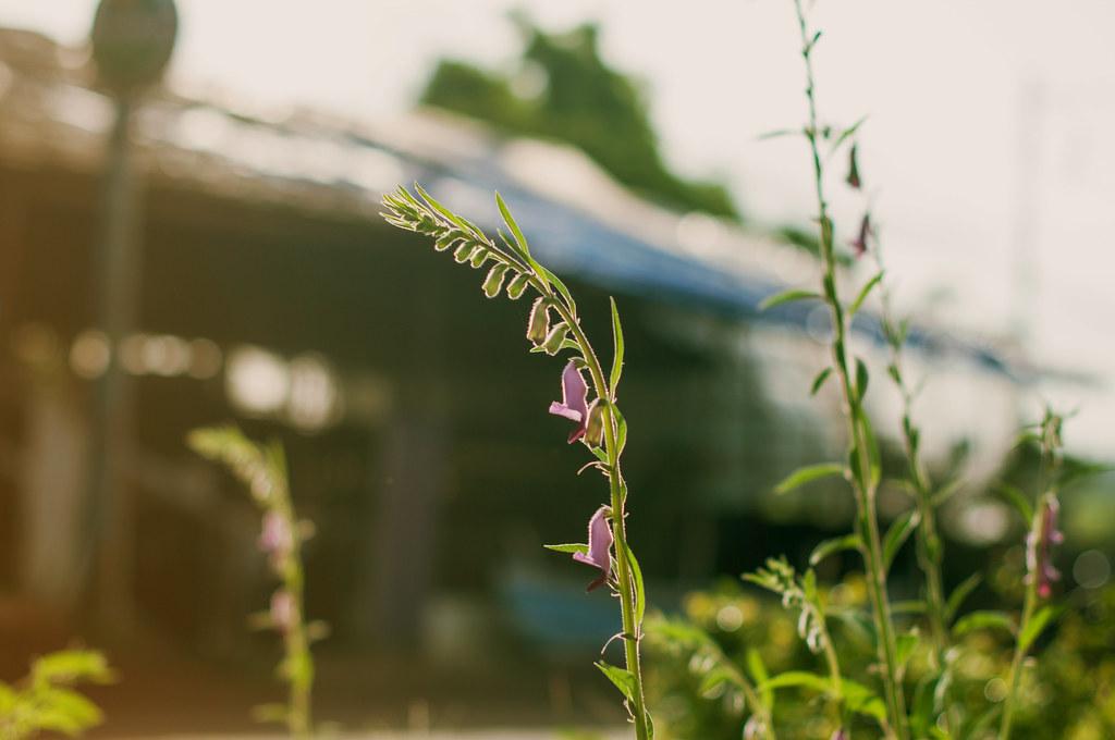 Wild Flower, Goa