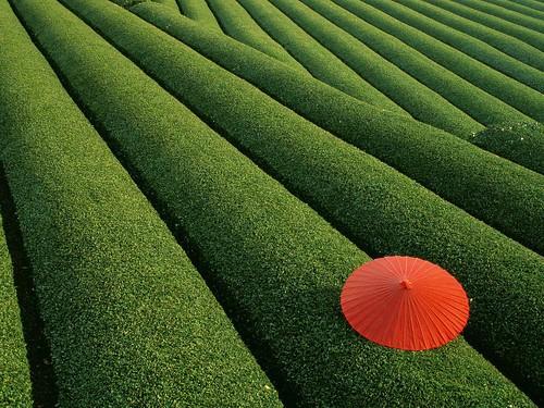 Tea Fields, Japan