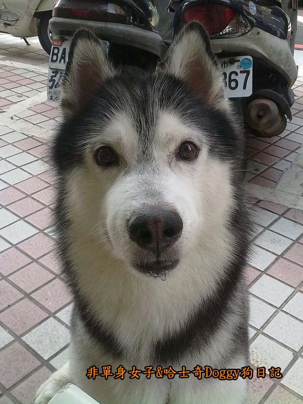 2011哈士奇doggy外出照片08