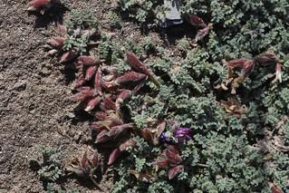 Oxytropis tianschanica (Fabaceae)