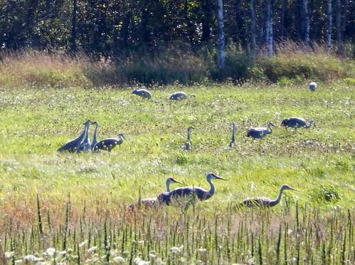 Manitoulin Island - kraanvogels - 2