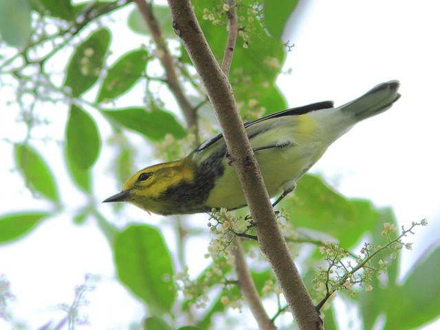Black-throated Green Warbler 3-20151016