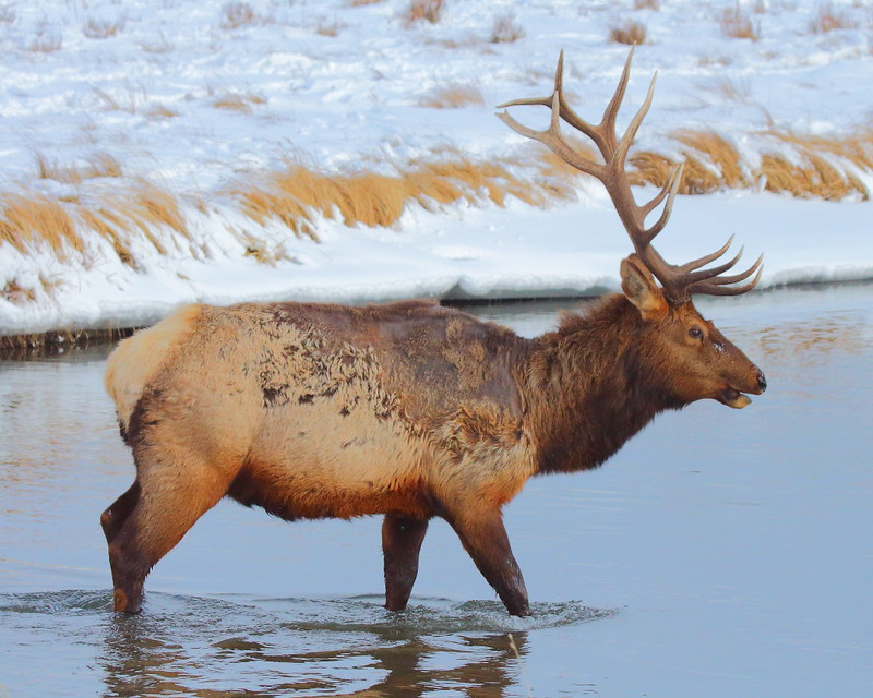 IMG_8796 Scabby Elk, National Elk Refuge