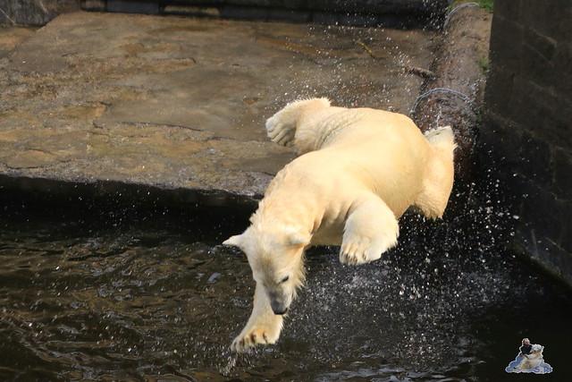 Eisbär Fiete im Zoo Rostock 31.10.2015 Teil 1  030