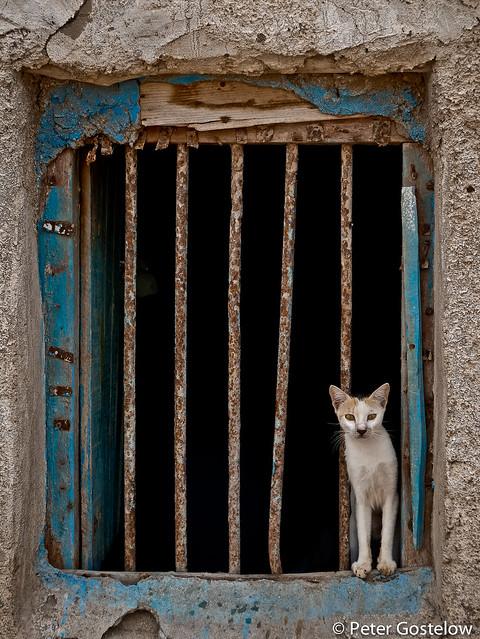 Berbera cat