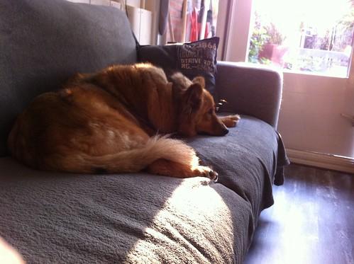 Ginger is geadopteerd door opvanggezin