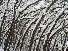 Snow in the Oaks