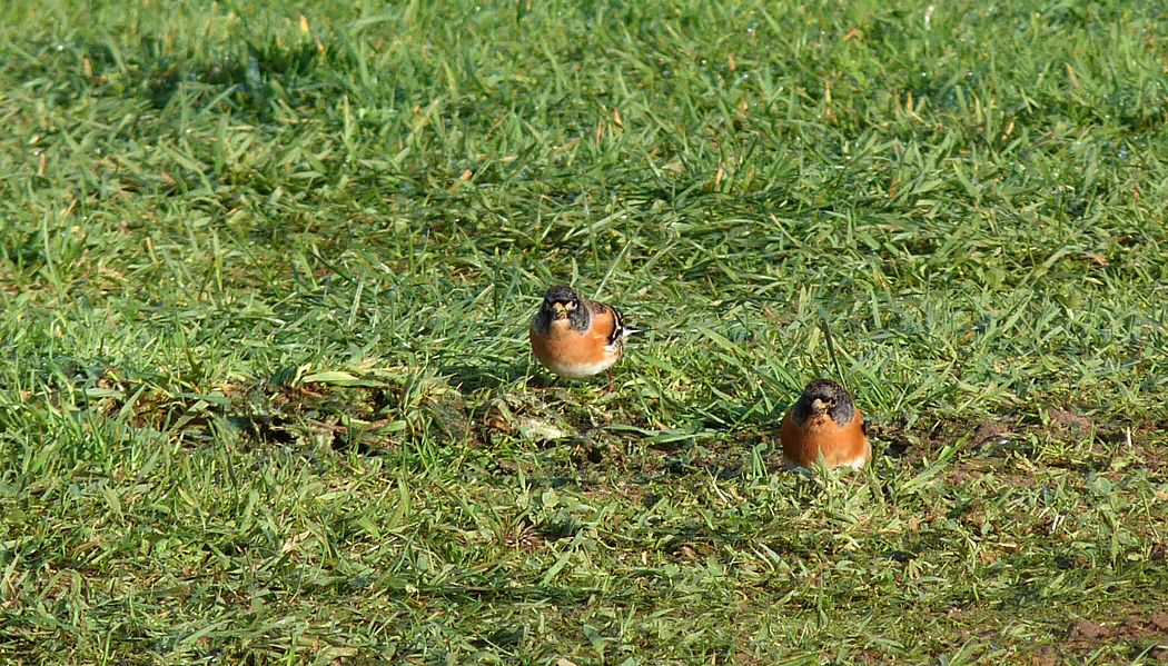 Bramblings Flam 29Oct15 b