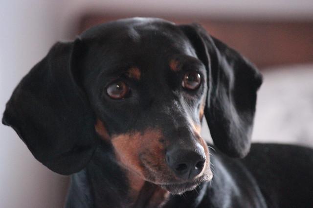 Retrato canino