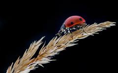 ladybug backlit
