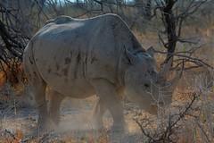 DSC_7908 Rhino 7 Namibia 2016