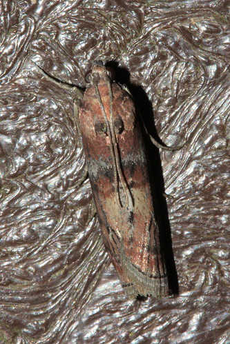 Moth 2095