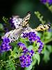 Beautiful Rice Paper butterfly - Weiße Baumnymphe - Idea leuconoe