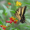 Tiger swallowtail in the milkweed by Vicki's Nature