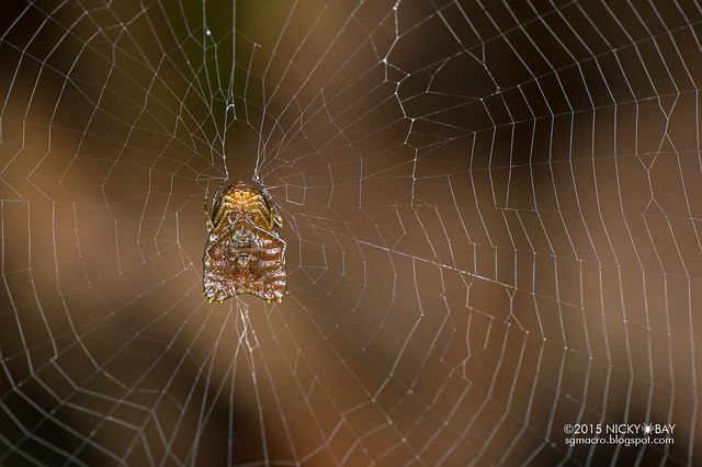 Thorned heart orb weaver (Micrathena clypeata) - DSC_4345