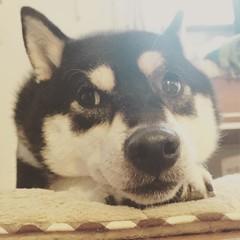 たれパンダではないのよ #shiba #dog #柴犬 #犬 #犬バカ部 #黒柴
