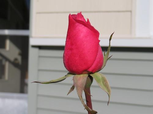 frozen rose bud