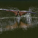 Bat Fishing by Yogendra174