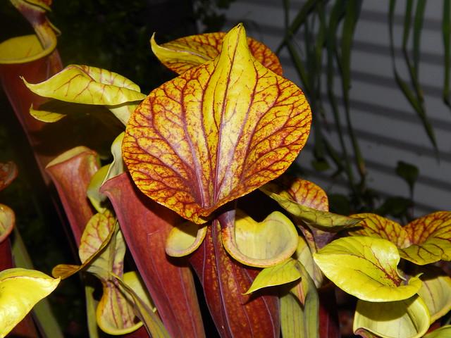 Sarracenia flava var rubricorpora - Reytter's clone