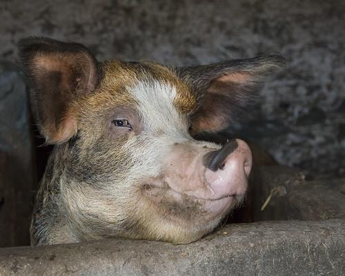 happy pig head
