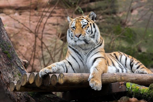 Tigerfamilie Mama Katinka