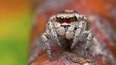 Habronattus coecatus jumping spider