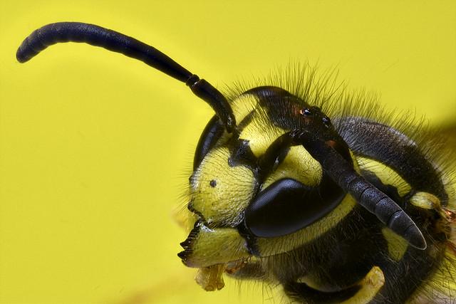 Avispa / wasp / Himenóptera