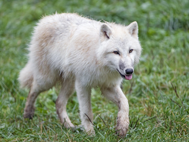 Young arctic wolf walking