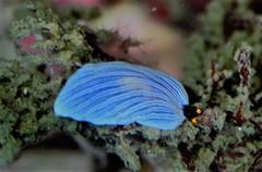 オトメウミウシ属の仲間