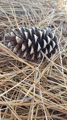 -Pine cone-