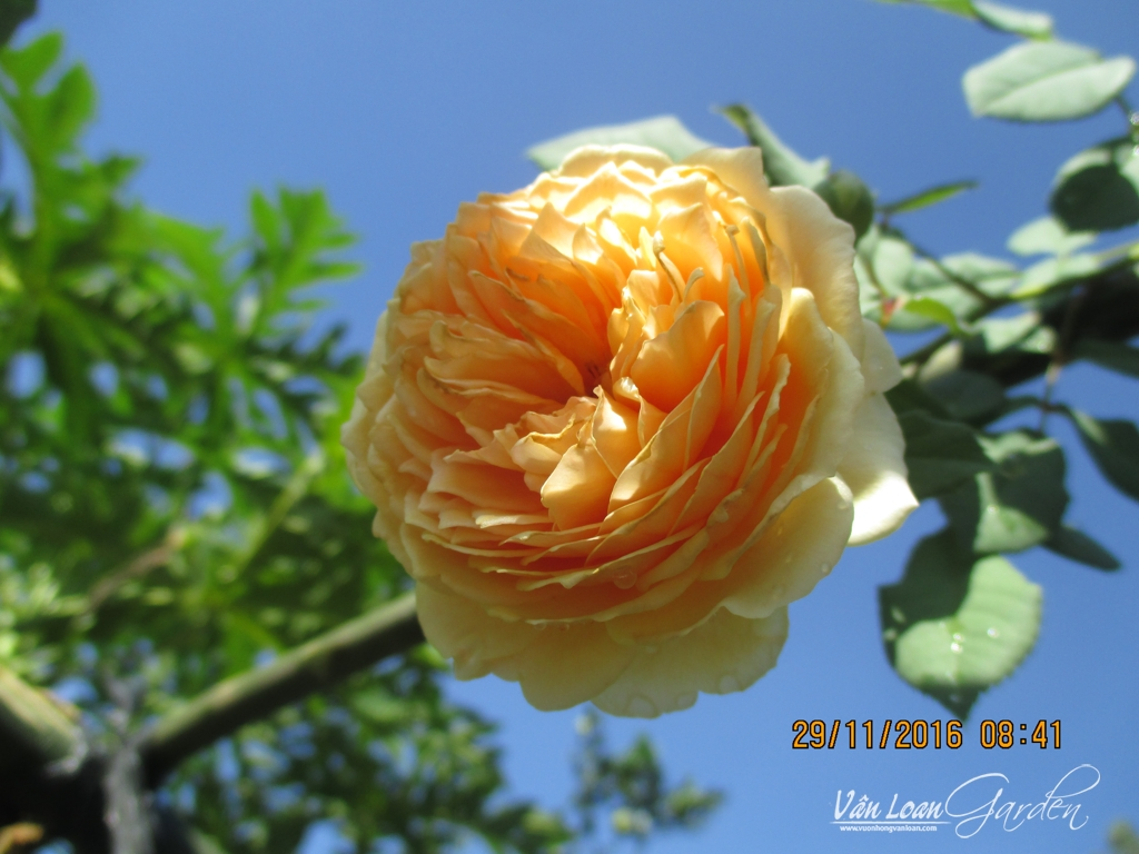 Crown Princess Margareta Rose (1)-vuonhongvanloan.com