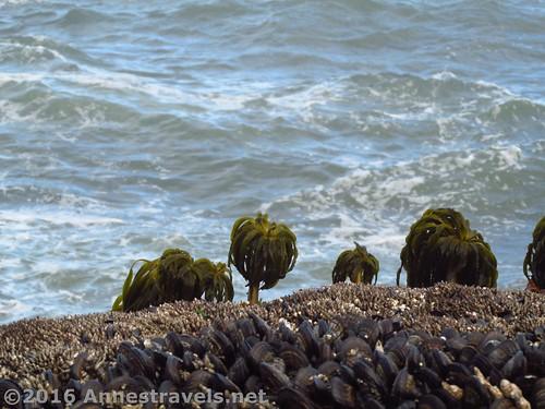 Sea life at Cape Perpetua, Oregon