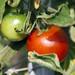 flower blossom 33 - tomatoe / Tomate