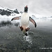 WWF #PicoftheWeek: Gentoo penguin jumping out of the sea in Antarctica by WWF - Global Photo Network