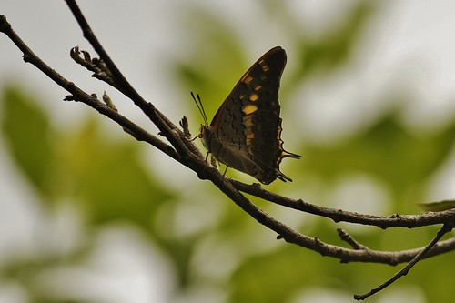 Butterfly-Adyar-Poonga-5
