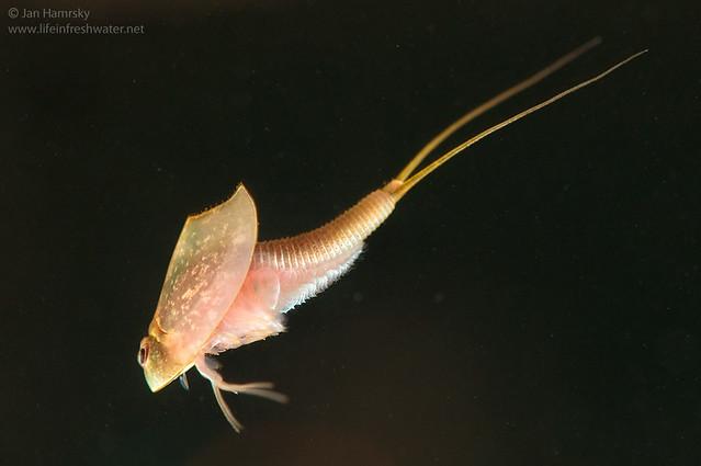 Tadpole shrimp (Triops longicaudatus)