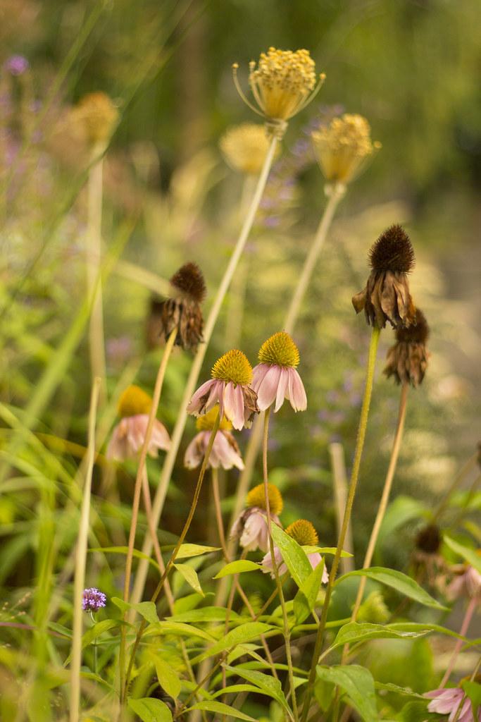echinacea fading away