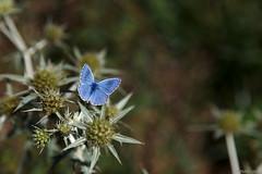 Blue butterfly - Photo of Peyrefitte-sur-l'Hers