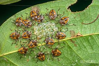Stink bug nymphs (Pentatomidae) - DSC_2515