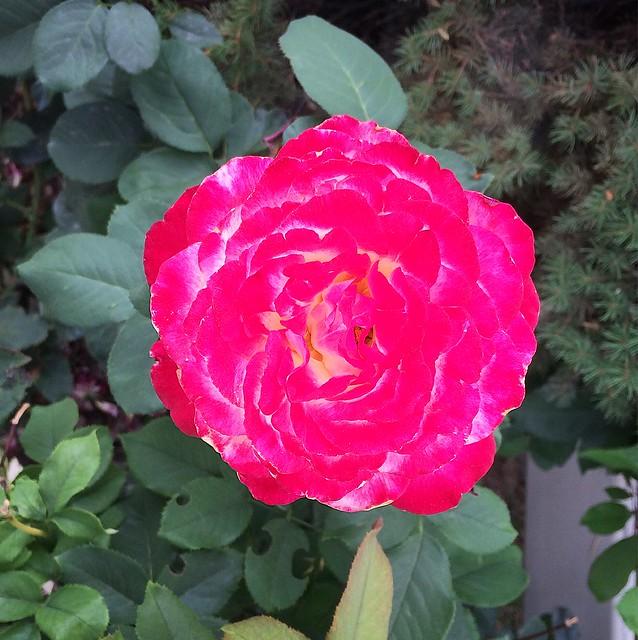 amazing neon pink rose