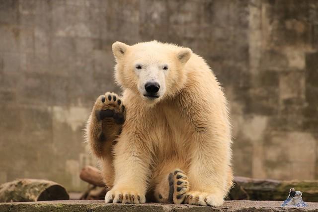 Eisbär Fiete im Zoo Rostock 19.09.2015 Teil 2  044