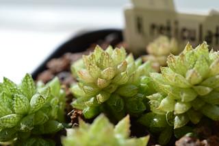 DSC_0442 Haworthia reticulata to herbacea Bosfontein