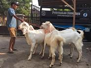 Pengiriman Kambing Etawa Bunting ke Probolinggo, Jawa Timur 26 September 2015